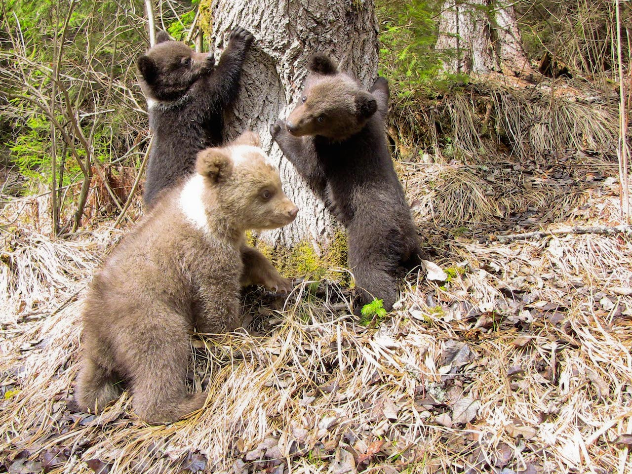 Bear Orphan Station Harghita | Romania | 2013 | Brown Bear Cubs 2013 | Boogster light coloured bear cub | dark coloured bear cubs have no names