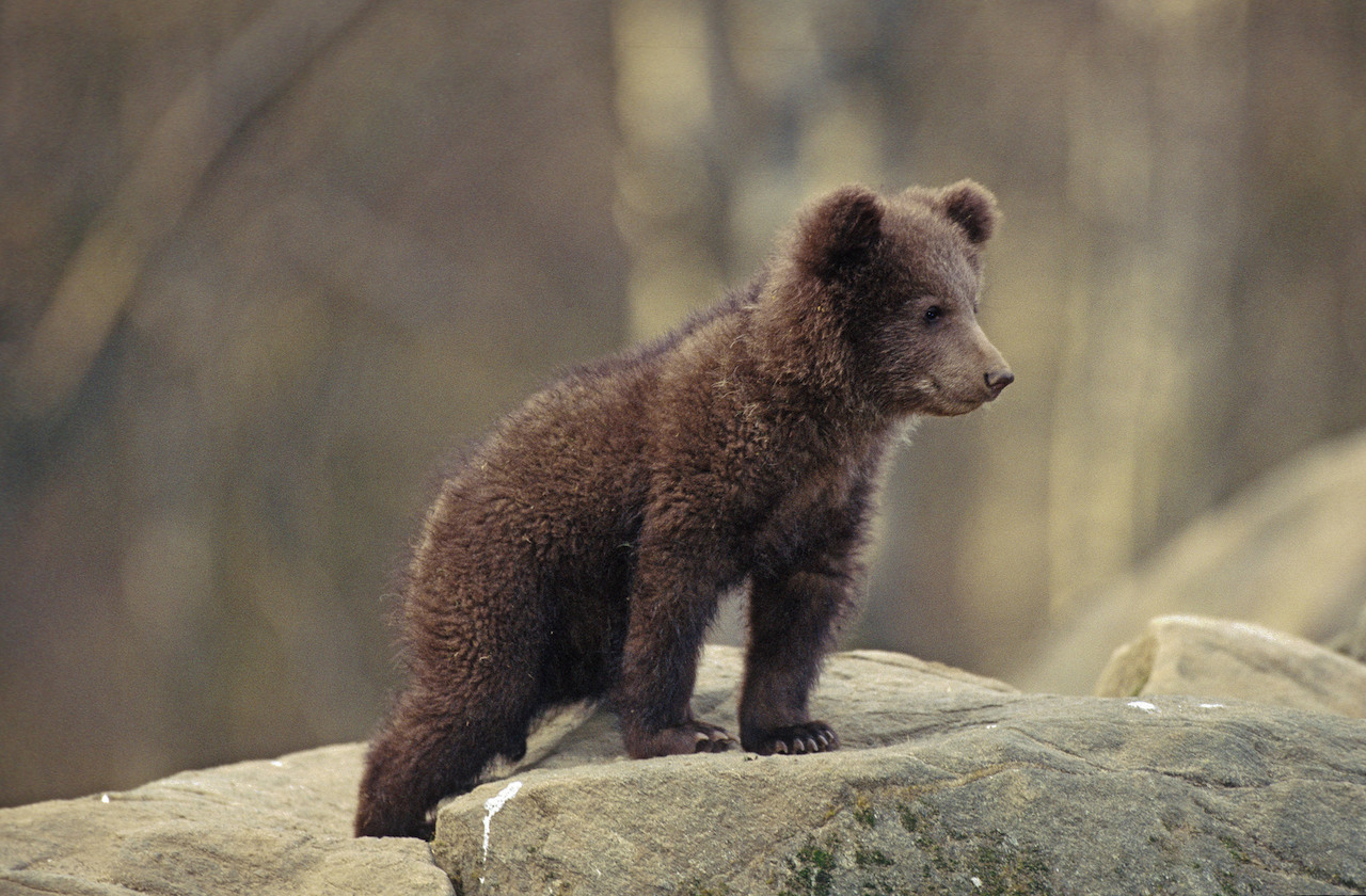 Brown Bear (Ursus arctos) cub peering from the top of a rock .