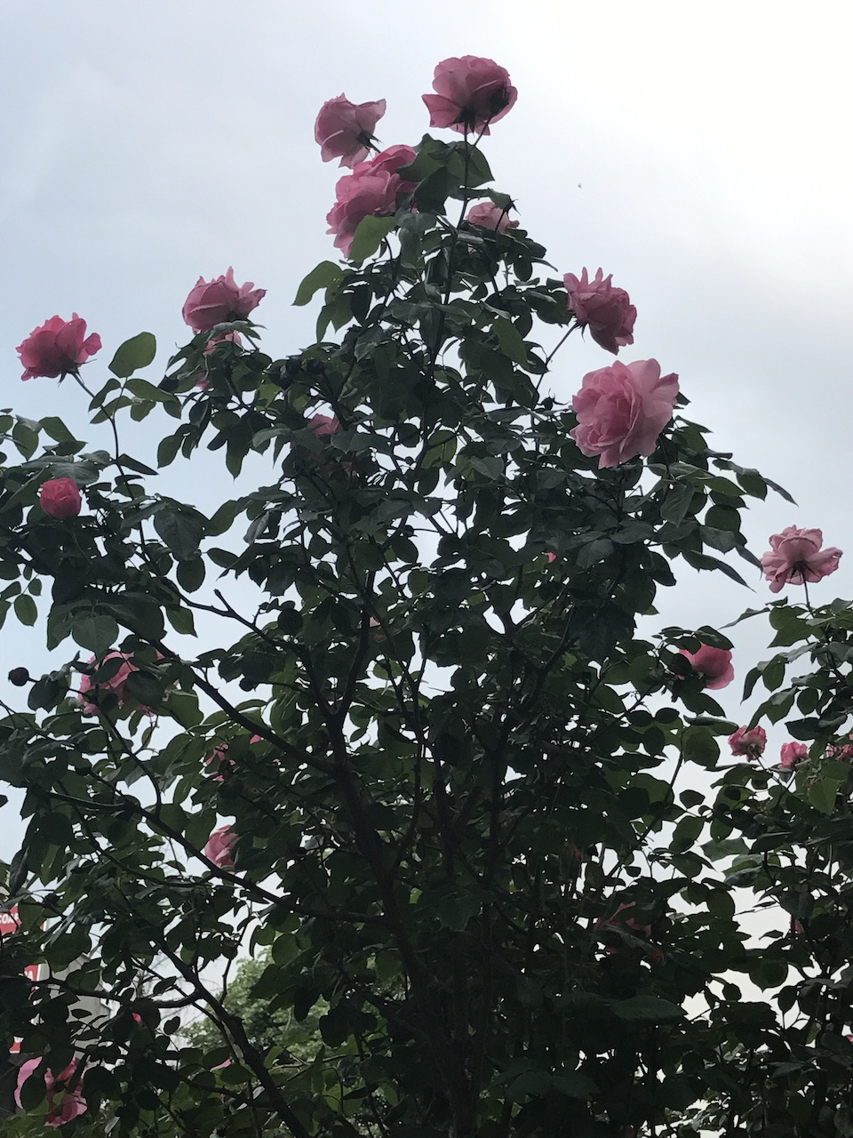 Trandafiri in luna iunie